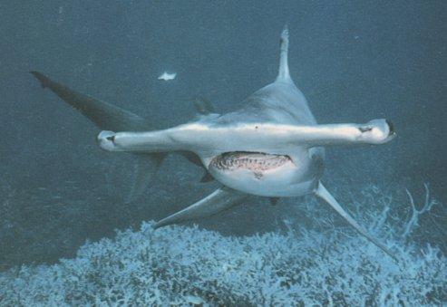 Requin_marteau01